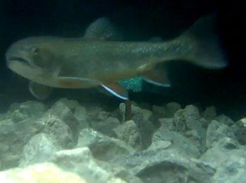 Fisch beim Fischaufstieg