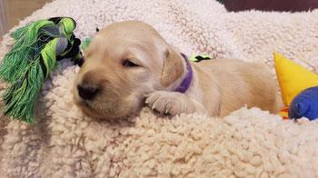 Reico Welpenfutter gesundes und artgerechtes Futter für Welpen und heranwachsenden Hunden von Reico