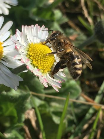 Biene Carnica Honig vom Bodensee