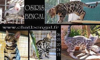osiris bengal chat leopard domestique sites web echec et mat jessie martinez