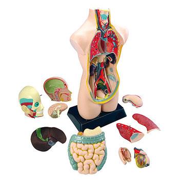 Torse humain de 50 cm composé de 11 parties pour apprendre le corps humain.