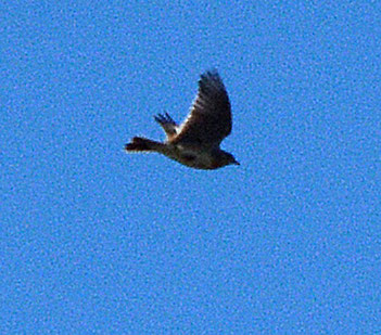 Very blurred skylark
