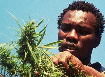 semillas cannabis africa y sudafrica, semillas marihuana sur africa