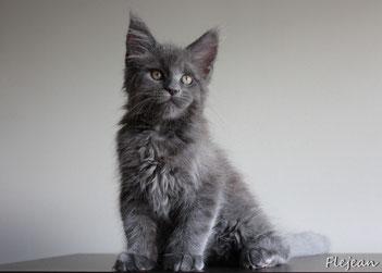 котята мейн-кун, питомник мейн-кунов, продажа котят