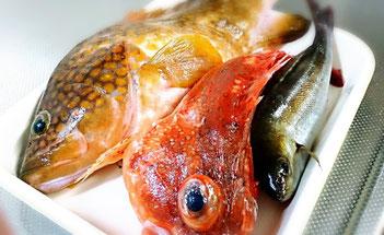 隠岐の高級魚 アカミズ
