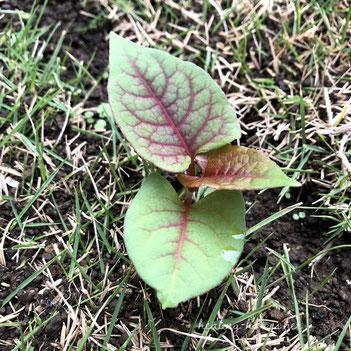 どくだみの緑色の葉