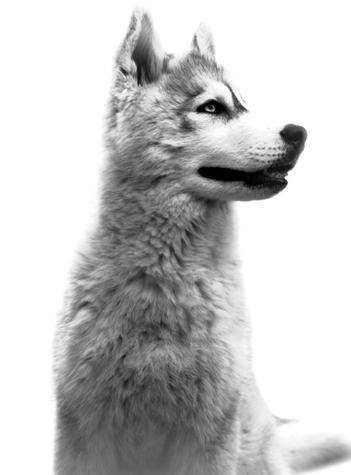 chiot loup à vendre