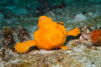 Frog Fish, Ambon Bay, Indonesia