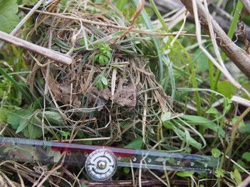 農地近くの川べりにあったカヤネズミの巣