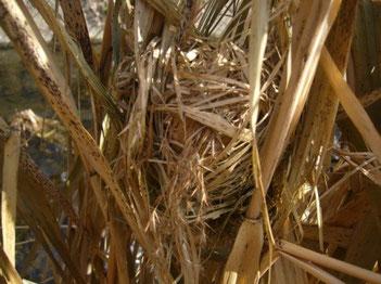 ⑤2013年1月5日。ツルヨシにつくられた繁殖中の巣