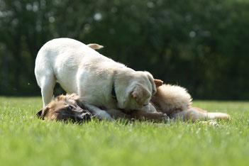 Tobende Hunde in der Hundeschule Asmann