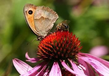 Kleines Wiesenvögelchen mit Biene auf Sonnenhut