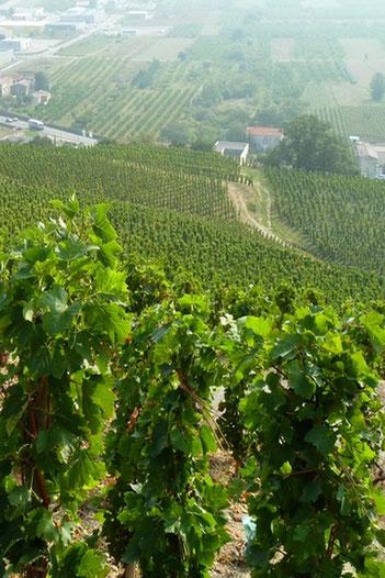 Le Saint Joseph, le vin le plus prestigieux des vins d'Ardèche, s'élève au Nord Est du département autour de la ville de Tournon..