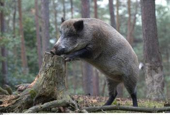 Die ASP wurde in Belgien bei zwei Wildschweinen festgestellt  (Quelle: Schäfer/DJV)