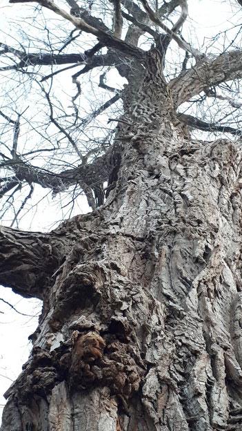 Alte SCHWARZPAPPEL (Populus nigra).