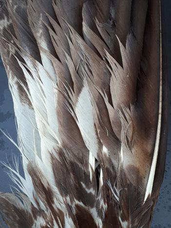 Zerschlissene Federn an einer zum Räucherfächer verarbeiteten Vogelschwinge nach Nässe und unsachgemäßer, zu schneller Trocknung an einer Hitzequelle. Die Substanz der jahrzehntealten Federn wurde dadurch unwiederbringlich geschädigt!