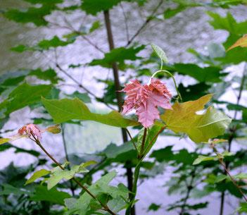 farbiges Blatt im Frühling am Schwanenteich in Gießen Ufer See Teich Sommer Ausflug Fotografie nervenkeks Baum Ahorn