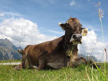 Milchkuh auf Weide