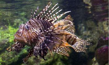 Pesce leone - Watamu beach