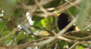 Golden-winged Manakin (Masius chrysopterus)