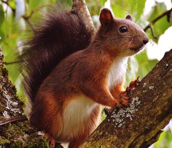 Krafttier Eichhörnchen - Mittler zwischen den Welten