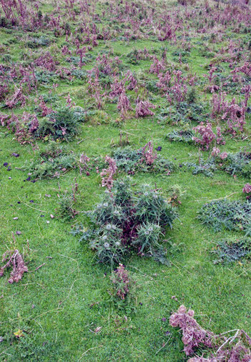 Invasive Scotch thistles (Cirsium vulgare) on sheep paddock near Lovers Leap, Otago Peninsula