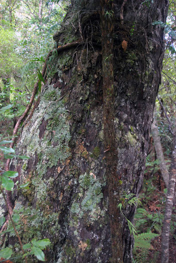 Giant rimu trunk on Ulva Island. Rimu (Dacrydium cupressinum) is the commonest and most widely distributed conifer in New Zealand