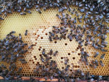 Bienenwabe mit Brutwaben für Arbeiterinnen