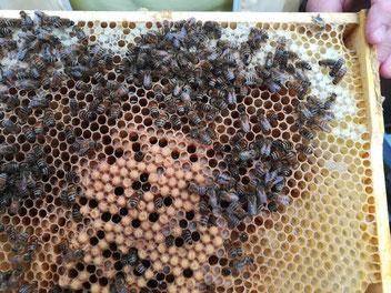 Bienewabe mit mit Brutwaben für Drohnen