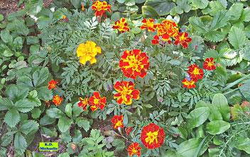 Rein gelbe und gelbrote Blüten einer niedrigen Tagetes / Studentenblume nebst gefiederten grünen Blättern von K.D.  Michaelis