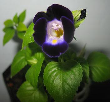 Торения, цветёт и в комнате.