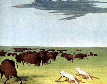 Da gesunde Bisons in Herden keine Angst vor Wölfen hatten, tarnten indianische Jäger sich mit Wolfspelzen, um sich so an ihre Beute anzuschleichen
