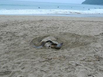 鹿児島カップの朝5:20ぐらいにウミガメの産卵と遭遇!そっと写真撮らせてもらいました。ちゃんと産卵出来たかな??