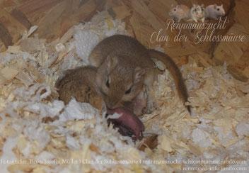 Bild 3: Älteres Jungtier putzt den jüngsten Wurf, während Mama säugt