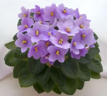 Lavender Bliss (H.Pittman)