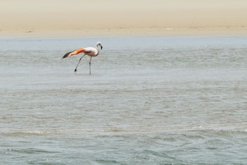 Flamingo in der Laguna de Rocha