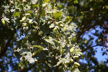Übervoll hängen die Eicheln am Baum. Vorsorge für einen kalten Winter?