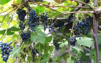 Виноград экспресс