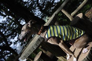 #イタグレ犬 洋服 #ヤフー 犬服 激安 #ヤフー犬服 安い かわいい #かわいい イタグレ 犬服 #犬服 激安 #お出かけ用 洋服 #イケメン モデル #るちあーのろぜった 犬 服 #イタグレ服 激安 おしゃれ
