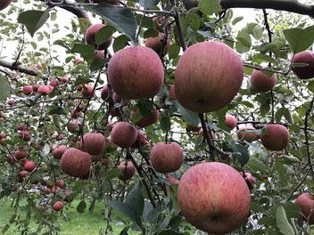 弘前りんご農園のふじりんご