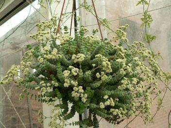 Crassula ssp.