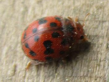24-spot ladybird Subcoccinella vigintiquatuorpunctata (or 24-punctata)