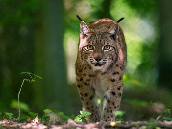 Luchs Pfälzer Wald Wildtiere