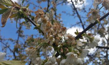 Der Wintereinbruch Ende April bremste auch die Aufwärtsentwicklung unserer Bienenvölker