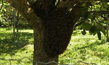 Das Schwärmen ist die natürlichste Form der Bienenvermehrung