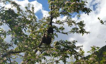 Mai/Juni als Höhepunkt der Schwarmzeit unserer Bienen im Maltatal