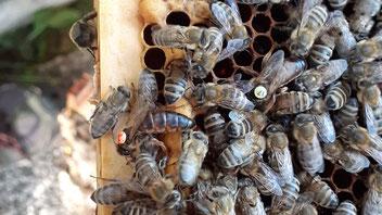 Seit dem Frühjahr ein Team: Zwei Königinnen in einem Bienenvolk