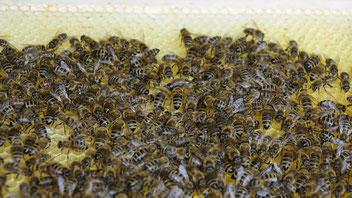 Einblicke ins Bienenvolk sind faszinierend und die Leistungen der Bienen in der Tierwelt einzigartig (Foto: Feistritzer Rudi)