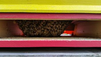 Bienenvölker bilden eine Wintertraube und erzeugen durch Muskelzittern Wärme