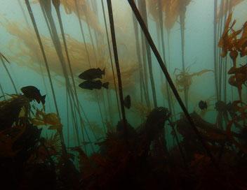 Macroalgal diversity in nearshore marine habitat